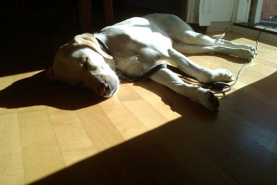 Koira nukkuu lattialla