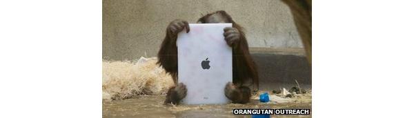 Orangutans learning to use iPads