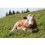 Ylivieskassa drone on tappanut useita lehmiä
